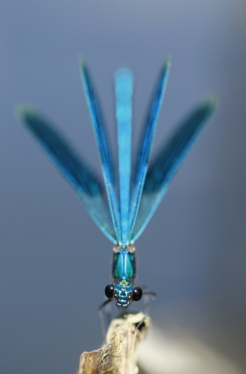 bended demoiselle in threatening posture