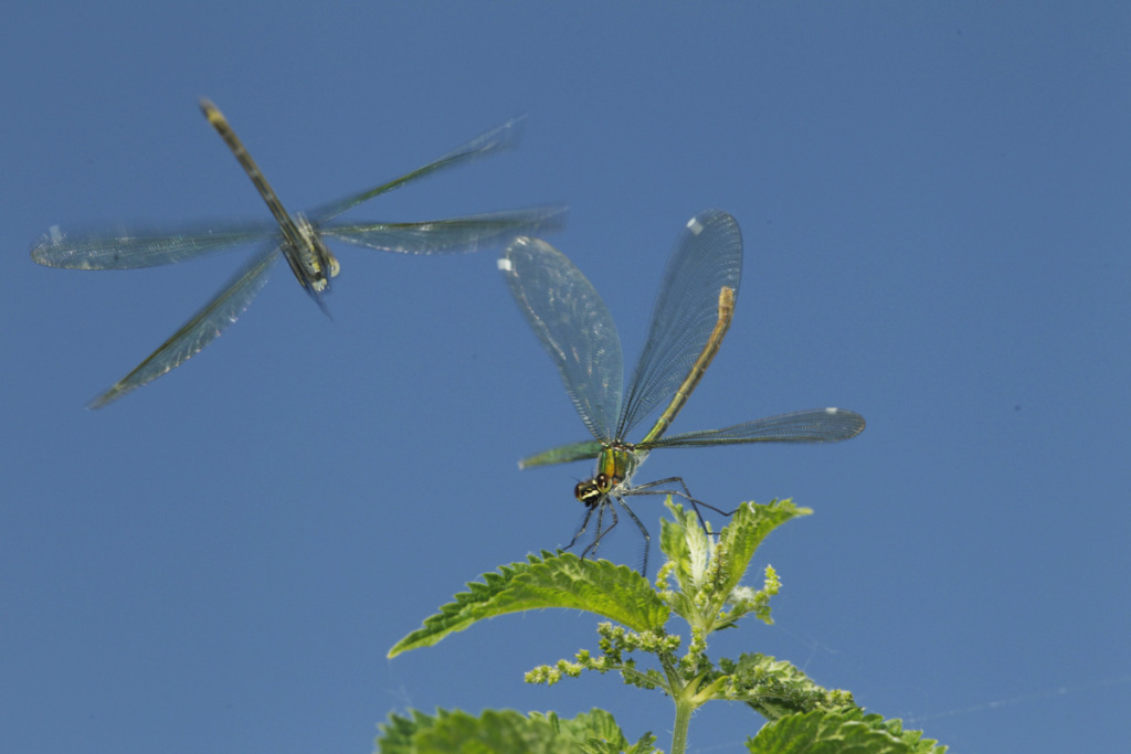 bended demoiselle females fighting for perching site
